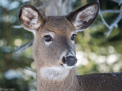 One of my winter friends (Dean OM) Tags: color animal deer white tailed winter maine me