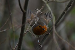 Bobbie giving me the look (JerryGoulet) Tags: naturereserve rspb birds nikon d500 sigma150600 middletonlakesrspbnaturereserve wildlife feathers robin sigma trees leaf foliage winter autumn red orange look highiso lowlight perspective wings flying wilderness animals