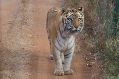 Bengal Tiger (Karunyaraj) Tags: tyavarekoppa tigerreserve shimoga bengaltiger tiger karnataka safari lionsafari nikond610 d610 nikon24120 fullframe fx nikon
