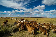 39369-012: Strengthening Carbon Financing for Regional Grassland Management in Mongolia (Asian Development Bank) Tags: mongolia mng khentiiprovince 39369 39369012 cattle cows sheep livestock animals laboranimals farmanimals herd rural province outdoor agriculturalactivities agriculture