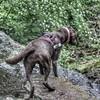 Willow enjoying the view at Roche Abbey (DakotaChelle) Tags: chocolatelabrador labrador dogs fablabs