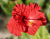 Red Hybiscus (wyojones) Tags: hawaii hilo horticulture hybiscus red airport bush flower