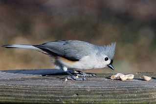 Titmouse Inspecting the Peanuts