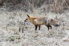 Red Fox...6O3A7742CR2A (dklaughman) Tags: redfox fox bombayhookwildliferefuge delaware