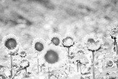 Sunflowers (daniel0027) Tags: monochrome sunflowers sunflowerfield field flowers summer bokeh