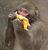 Japanese macaque artis BB2A3789 (j.a.kok) Tags: makaak macaca japanesemacaque japansemakaak japan asia azie artis animal aap primaat primate mammal zoogdier dier monkey macaque