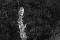 Great Gray Owl (OwlPurist) Tags: