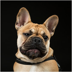 I don't like posing... (devos.ch312) Tags: frenchbulldog dog portrait strobism strobisme strobist a7rii a7rm2 ilce7rm2 sony zeiss fe55mmf18za pet christinedevos
