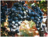 sweet grapes (kurtwolf303) Tags: grapes nahaufnahme weintrauben natur nature grapevine weinrebe früchte fruit olympusem1 omd mft microfourthirds micro43 systemcamera kurtwolf303 vesuv italy italia italien