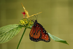 """Winged friends (Millie Cruz * """"On and Off-Busy"""") Tags: """"canon55250"""" butterflies butterfly leaves plant flowers wings nature outdoors insects animalplanet friends monarch soe"""