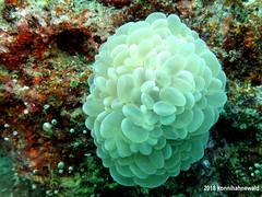 Jan 2018 Pulau Weh 039 (DM Konni) Tags: bykonnihahnewald scubadiving excellent underwater uwphotography tropicsea underwaterlife environmentalfriendly andamansea sumatra sabang pulauweh indonesia bubblecoral softcoral