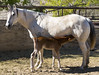 Pepsi and Topper, 5 Days Old (juliaclark42) Tags: foal 2018project horse bakersfield nikond300