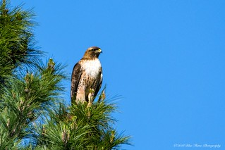 Red-tailed Hawk ©