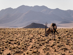 Oryx - Gemsbok grazing (Melvinia_) Tags: olympusomdem1 namibia namibie desert désert namibrand naukluft namibrandfamilyhideout landscape sand africa afrique afriqueaustrale oryx animal safari gemsbok geoafrica