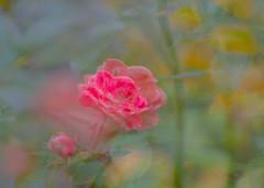 Red Rose Dreaming. (Omygodtom) Tags: doubleexposed flickr flower red rose setting scene scenic senery outdoors nikkor nikon70300mmvrlens nature nikon dof d7100 bokeh fun science 7dwf coth5 usgs ngc