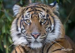 Debbie (ToddLahman) Tags: debbie sumatrantiger sandiegozoosafaripark safaripark female mammal outdoors beautiful tiger tigers tigertrail escondido eyelock exhibitb canon7dmkii canon canon100400 closeup