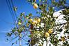 Full Frame Lemons (Miguel.Galvão) Tags: lemons full frame dof thin yellow blue sky trees limões limonada grandma avó alentejo évora portugal canon miguel galvão pedro pires green colours cores verde amarelo azul profundidade de campo f18