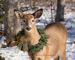 Dreaming... (Nancy Rose) Tags: deerbackyard deerwithchristmaswreath wreath winter