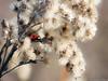En prévision du froid. (musette thierry) Tags: insecte coccinelle rouge noir animalier animal musette thierry nikkor nokon macro 90mm28 hiver winter february février capture photo
