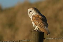 Barn Owl (Tyto alba). (Sandra Standbridge.) Tags: barnowl owl outdoor wildandfree wild wildlife nature birdofprey raptor post earlymorning goldenlight perched magical