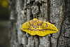 Imperial Moth [07.30.17] (Andrew H Wagner | AHWagner Photo) Tags: 5dmk3 5d3 5dmkiii 5dmarkiii 5dmark3 canon eos 35l 35mm f14 f14l imperialmoth moth nature tree outdoors bokeh dof