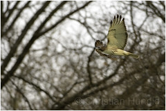 """T4"" (Christian Hunold) Tags: t4 redtailedhawk buteojamaicensis rotschwanzbussard hawk urbanhawk raptor birdofprey eakinsoval philadelphia christianhunold"