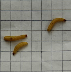 mango maggots (Etching Stone) Tags: moth larvae dried mango colour become science plantpigment kitchen testtube biology insects yellow wormy