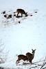 PIO_0521m (MILESI FEDERICO) Tags: milesi milesifederico italia italy iamnikon inmontagna inverno ice piemonte piedmont visitpiedmont valsusa valliolimpiche valledisusa alpi alpicozie altavallesusa altavaldisusa valdisusa nikon nikond7100 nital natura nature nat neve nevicata ngc d7100 dettagli details 2018 gennaio wild wildlife life mammifero mammiferi caprioli