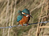 Kingfisher (roger_forster) Tags: kingfisher female alcedoatthis lymington hampshire wild bird normandy lagoon pennington hiwwt