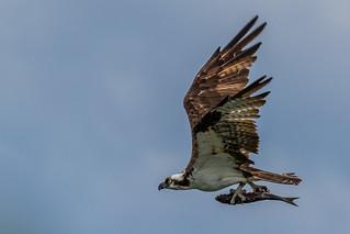 Águia-pescadora (Pandion haliaetus) Osprey