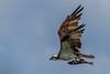 Águia-pescadora (Pandion haliaetus) Osprey (Eden Fontes) Tags: riodejaneiro aves osprey vempassarinharrj barradeguaratiba birds rapinantes pandionhaliaetus rj águiapescadora raptors rebiodeguaratiba