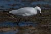 180114_Silver Gull_04 (Pusher141) Tags: applecrossforeshore ornithology bird birds d750 nikkor200500 silvergull feeding