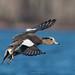 Wigeon incoming (westcoastcaptures) Tags: sonya99ii minoltaaf400f45hsg esquimaltlagoon bird waterbird duck bif inflight