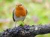 Canto a la libertad (josuneetxebarriaesparta) Tags: txantxangorri txindorra txoria petirrojo ave pájaro robin bird animal rama