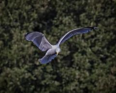 Reconnaissance (MrBlueSky*) Tags: gull seagull bird outdoor flight nature colour wildlife london kewgardens royalbotanicgardens pentax pentaxart pentaxlife pentaxk1 pentaxawards pentaxflickraward aficionados