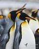 King Penguin Dušan Brinkhuizen (rockjumperbirding) Tags: rockjumperbirding birds birding birdwatching nature wildlife photography birdphotography naturephotography wildlifephotography penguin
