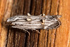 Tufty Moth (zosterops) Tags: australia tasmania hobart canoneos6d canonmacrolensmpe65 macro insecta lepidoptera