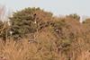 Hungry Hunter (Sara@Shotley) Tags: marshharrier bird raptor birdofprey hunter hunting flock widgeon flight soar nature sky woods wetlands cheshire wirral wings