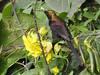 Bronze sunbird (David Bygott) Tags: bronze sunbird africa tanzania natgeoexpeditions 180121 ngorongoro nca ngorongorosopalodge