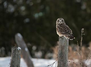 Short-eared Owl, Hibou des Marais, Lechuza de la Penas, Asio Flammeus