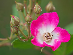 A Rosa dumalis in Stockholm (Franz Airiman) Tags: stockholm sweden scandinavia rosadumalis flora blomma växt plant flower blossom rosehip nypon nyponros