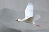 African spoonbill........ (law_keven) Tags: africanspoonbill pariszoo paris france birds bird flight avian
