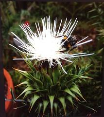 Gathering Pollen (alasam) Tags: bumblebee cactus cactusblossom pollengathering pollen green white