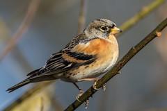 Brambling (Phil Gower Bird Photography) Tags: brambling finch passerine