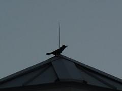 Greeting the sunrise (jmaxtours) Tags: junobeach sunrise jupiter jupiterflorida beach pier junobeachpier dawn florida fla fl usa bird chirp greetingtheday