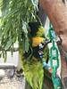 IMG_6095 (michelleoiseau) Tags: aquariumofthepacific longbeach lorikeets
