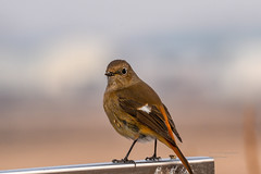 S18_8862 (Daegeon Shin) Tags: 니콘 니콘렌즈 새 조류 딱새 동물 심도 nikon nikkor d750 200500 bird animal ave pajaro dof phoenicurusauroreus