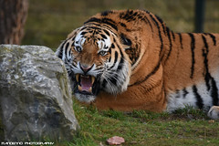 Siberian tiger - Safaripark Beekse Bergen (Mandenno photography) Tags: dierenpark dierentuin dieren animal animals siberian siberische tiger tijger tigers tijgers zoo ngc nederland netherlands nature beekse bergen safari safaripark