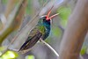 Broad-billed Hummingbird (Aurora Santiago Photography) Tags: broadbilledhummingbird tucsonarizona hummingbird