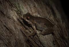 Litoria dentata (dustaway) Tags: anura hyllinae litoria litoriadentata bleatingtreefrog australianfrogs tullera nature northernrivers nsw australia australianwildlife
